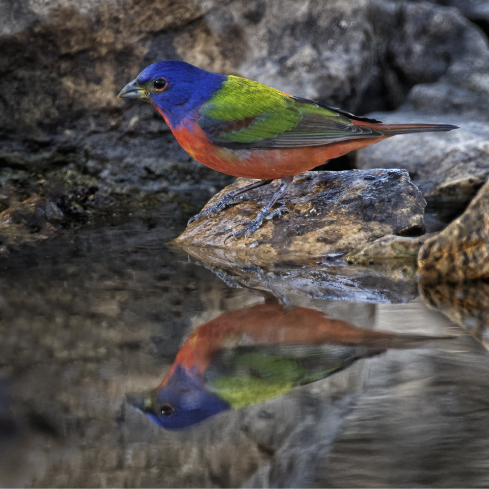 Steve Mayeux Painted Bunting